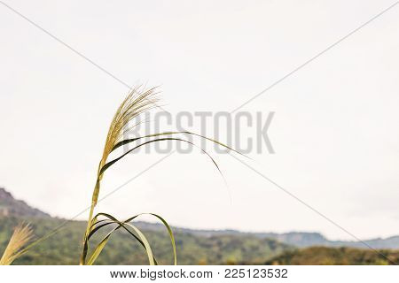 Grassy flowers, prominent, the back is a white sky.