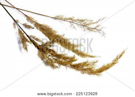 Dry Scented Seeds On The Stem Willow-herb Draw Curved Sheet Object Isolated Leaf On White Background