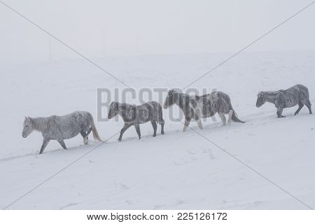 A herd of beautiful stately horses covered with snow and frosts walk along deep snowdrifts during a strong fog on a a natural background.