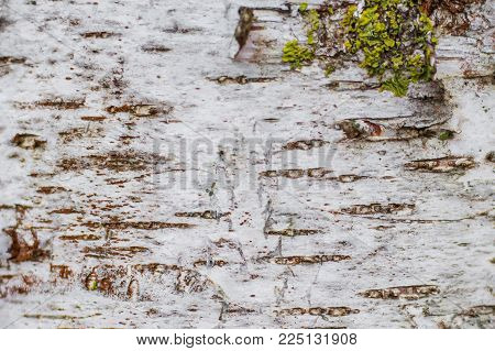natural texture of birch bark, background for design