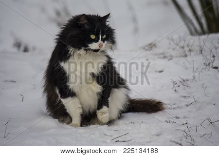 funny shaggy cat of black and white color sits on the snow and looks out into the distance