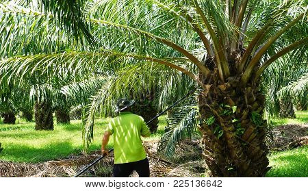 Focus At Palm Oil Tree Was Being Stabbed Branched Out Not To Be Cluttered