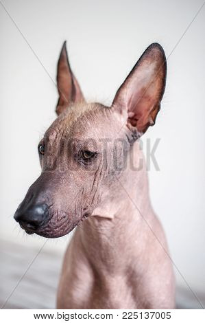 Portrait of a Mexican Hairless Dog on a white background