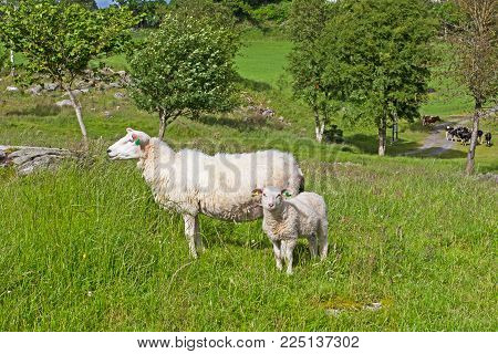 Woolly tagged ewe with a young lamb on Talgje island, Norway