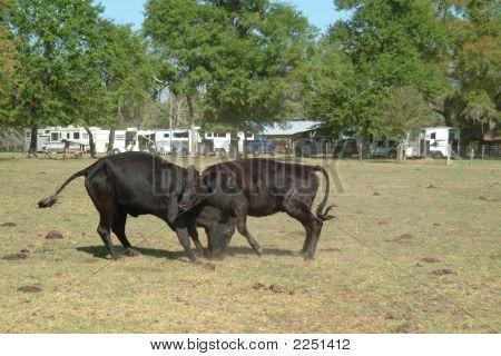 Two black bulls