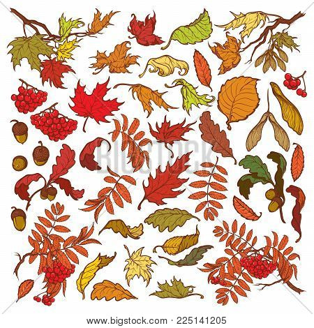 Hand drawn branches and leaves of temperate forest trees. Autumn colored floral set isolated on white background. Maple, rowanberry, oak foliage, acorns and berries. EPS10 vector illustration