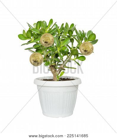 Allegory of the farm for growing bitcoins: house plant Crassula flower, succulent plant with golden coins of bitcoin on branches in a flower pot isolated on a white background