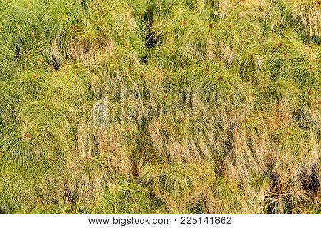 Close Up Of A Green Papyrus Plants In The Ortigia Island (fonte Aretusa) - Old Town Of Syracuse, Sic