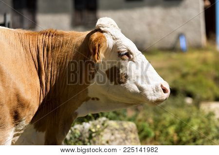Cow - Close up of a head of brown and white heifer without horns