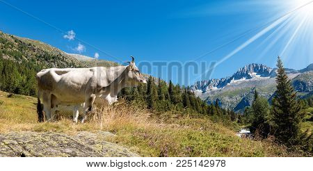 White Cow On A Mountain Pasture, National Park Of Adamello Brenta With The Peak Of Care Alto. Trenti