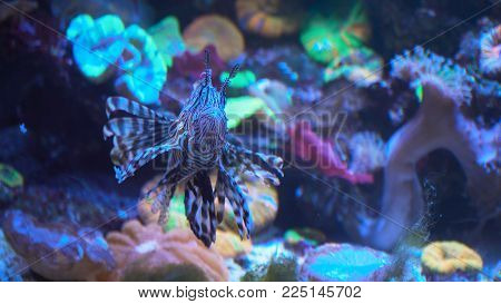 Lionfish, an invasive species also called the scorpion fish or Pterois mombasae.