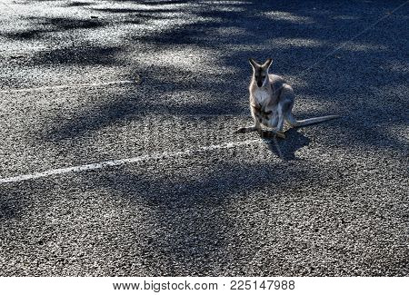 Cute Small Wild Grey Kangaroo With Baby In Parking Lot