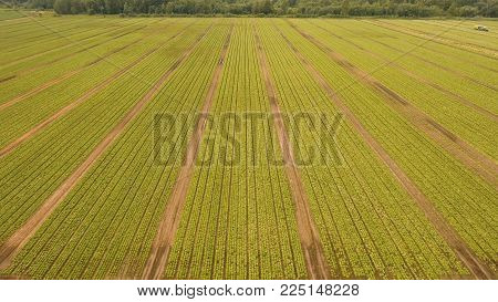 Aerial view Rows of green salad grown in agricultural field. Lettuce field. Salad on the field, salad growing.