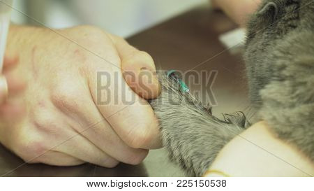 Procedure to take blood from jugular vein of a feline cat in veterinary clinic.Taking blood for analysis in a cat in a vet clinic.