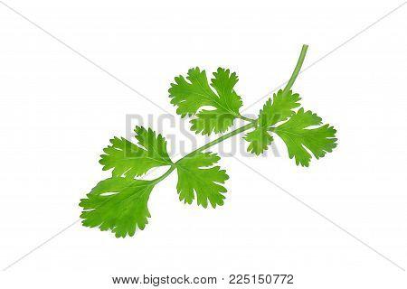 green coriandrum sativum leaves isolated on white background