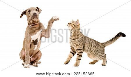 Playful Pit Bull puppy and curious cat Scottish Straight, isolated on white background