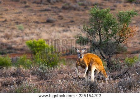 Kangaroo in the Flinders Ranges, South Australia