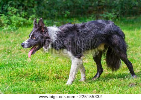 Close up border collie dog walking in green meadow