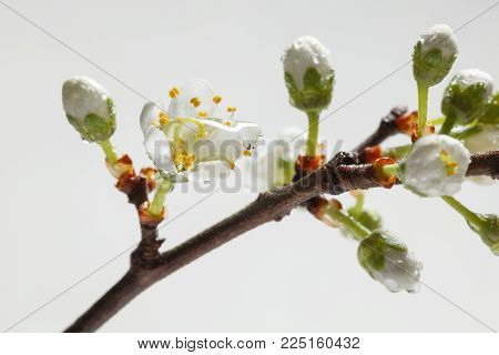 Macro of blooming fruit tree brunch and rain drop on tiny flower