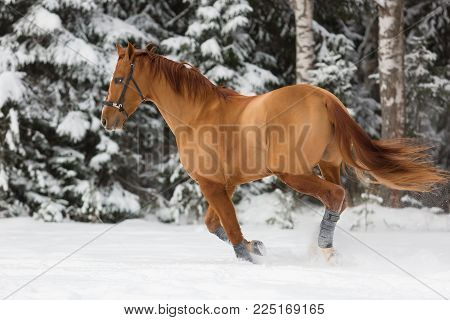 Beautiful budenny stallion galloping outdoors at winter day