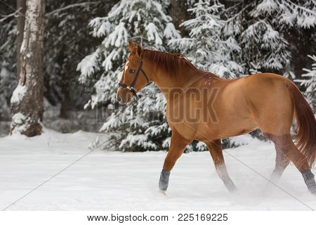 Beautiful budenny stallion  outdoors at winter day