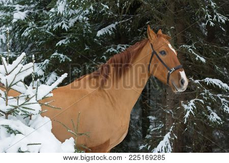 Beautiful budenny stallion standing outdoors at winter day