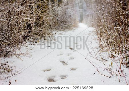 a path in the winter forest, traces of human legs are visible on the path, a walk in the winter forest