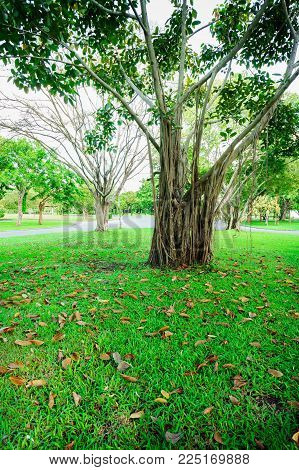 More Of Tree And Tree Branches Are Parkland In Bangkok, Thailand. Grass Is Foreground In This Pictur