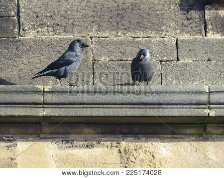 Two Jackdaws standing on the cornice of an old sandstone church building on a sunny day