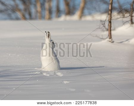 The mountain hare, Lepus timidus, is also known as blue, tundra, variable, white, snow, alpine and Irish hare. Here in its winter coat, with white fur and black tips on the ears. The animal is sitting in the snow, looking to the right.