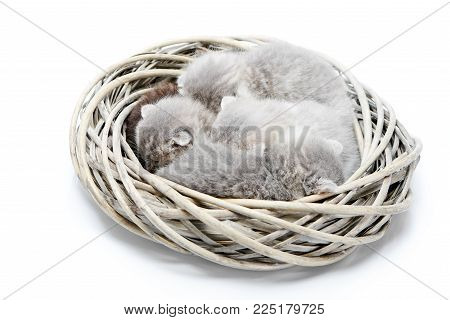 Small newborn grey fluffy adorable kittens sleeping together in white wicker wreath in white photo studio. Little gray cute pretty charming kitties photoset cuteness happiness photosession