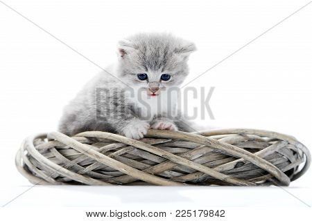 Little fluffy grey funny kitten being curious and looking down while sitting in white wicker wreath together with other adorable kitties. Curious cute amusing pretty cats cuteness exploring
