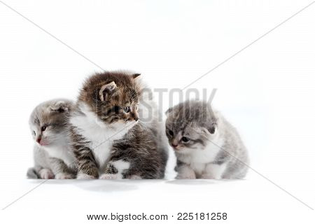 Grey and brown adorable fluffy kittens playing together and exploring surrounding photo studio while posing. Gray cute funny pleasing amusing curious kitties paws gray fur blue eyes