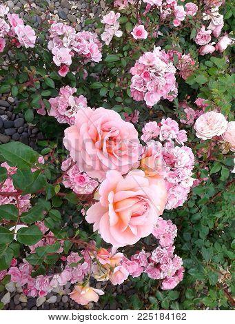 Pink rose flower garden grass summer nature photo