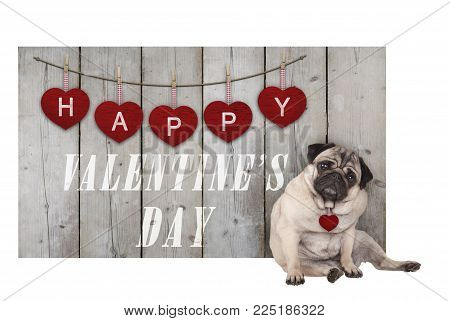 Cute pug puppy dog sitting down next to wooden fence of used scaffolding wood with red hearts and text happy valentines day, isolated on white background