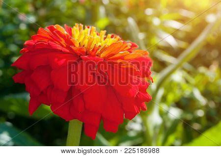 Red Dahlia Flower, Closeup View Of Spring Flower Of Red Dahlia. Flower Of Red Dahlia In The Spring G
