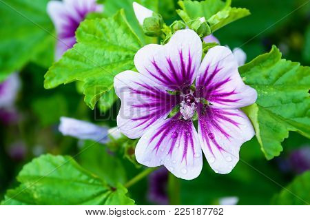 Mallow Flower Or Forest Mallow With Rain Drops On The Petals, In Latin Malva Sylvestris. Flower Spri