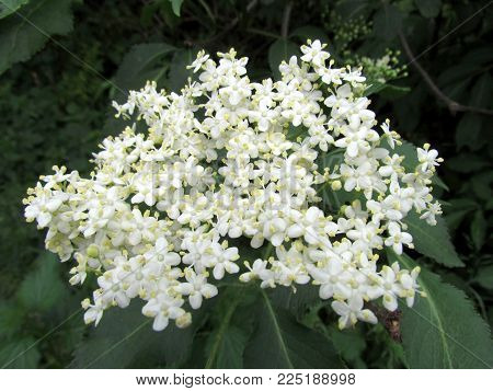 Sambuctus  blossom close up, other name elderberry, black elder, European elder. Shrub used in culinary and traditional medicine, excellent healing effects
