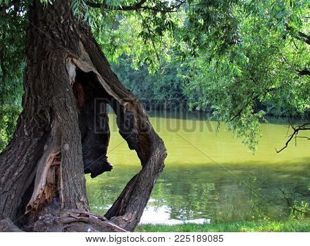 Natural still life with old damaged tree, broken wiillow in water. Summer natural scene