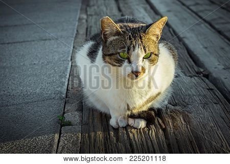 Beautiful Fluffy White Black Spotted Beach Cat With Vibrant Green Eyes In Sunlight Sitting On The Gr