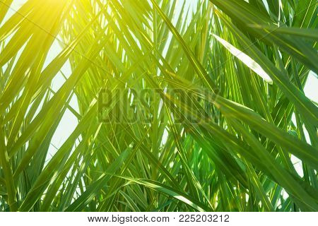Coppice Of Palm Trees With Long Dangling Spiky Leaves Forming A Natural Pattern. Golden Sunlight Ray