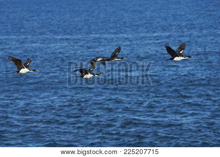 Imperial Shag (phalacrocorax Atriceps Albiventer) Flying Over The Sea On The Coast Of Bleaker Island