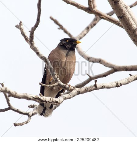 Indian starling on tree in nature . In the park in nature