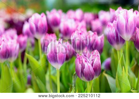 PurpleTulip Flower in the garden. Beautiful bouquet of tulips. colorful tulips. tulips in spring at Nature background.