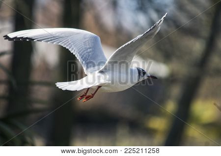 Nature and Wildlife, Seagull bird in flight flapping wings