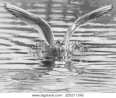 Nature and Wildlife, Seagull bird in flight flapping wings landing in water lake