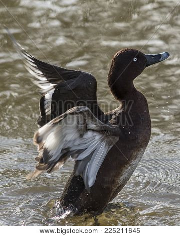 Wildlife and Nature, Duck waterfowl bird flapping wings in a  rural lake