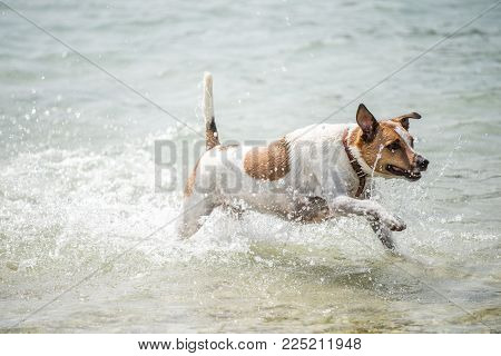 Happy six-year-old Danish Swedish Farmdog playing fetch in water during summer in Sweden. This breed, which originates from Denmark and southern Sweden is lively and friendly.