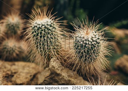 White cactus with long sharp torns grows on stone ground in desert