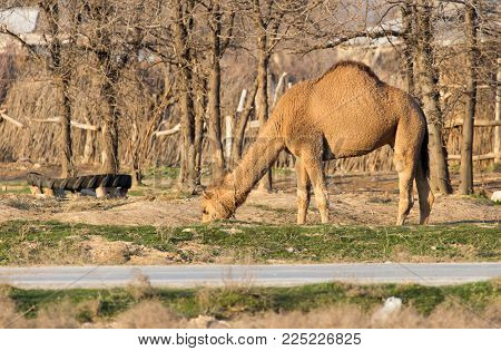Camel in a pasture at sunset . In the park in nature